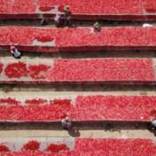 De stank van rottende tomaat reikt tot in China