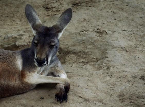Twintig kangoeroes doodgereden in Australië