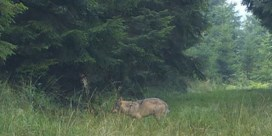 Er zit een vierde wolf in Limburg
