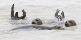 Sea Life Blankenberge vangt acht zeehonden op