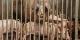 Jos Claeys: 'Varkenspest is grootste klap sinds dioxinecrisis'