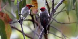 Belg ontdekt nieuwe vogelsoort: 'Dit is geen toevalstreffer'