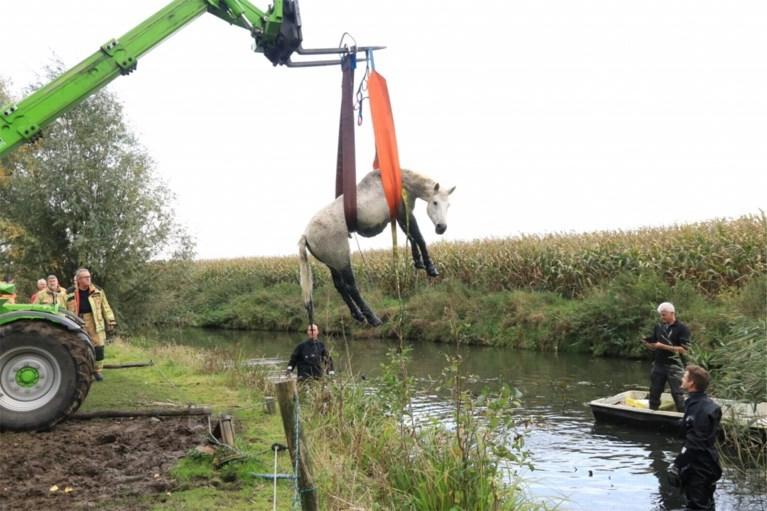In gracht gesukkeld paard toevallig ontdekt en gered