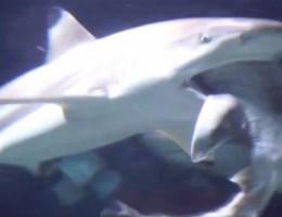 Verzorger over haai die soortgenoot opeet: 'In twintig jaar tijd nooit meegemaakt'