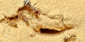 Snelste mierensoort ter wereld loopt een meter per seconde