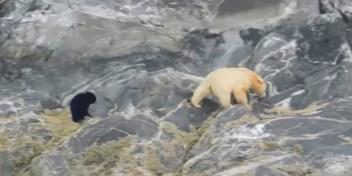 Toeristen filmen een van zeldzaamste berensoorten ter wereld