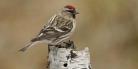 60.000 euro voor vangen zeldzame zangvogel