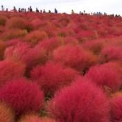 Japans park vol rode planten lokt duizenden kijklustigen