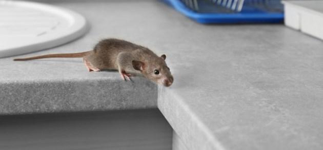 5 vragen én antwoorden over ratten en muizen in huis