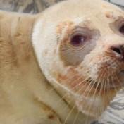 Verzwakte albino-zeehond aangetroffen op Texel