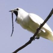 Lokroep van deze vogel is de luidste ooit gemeten