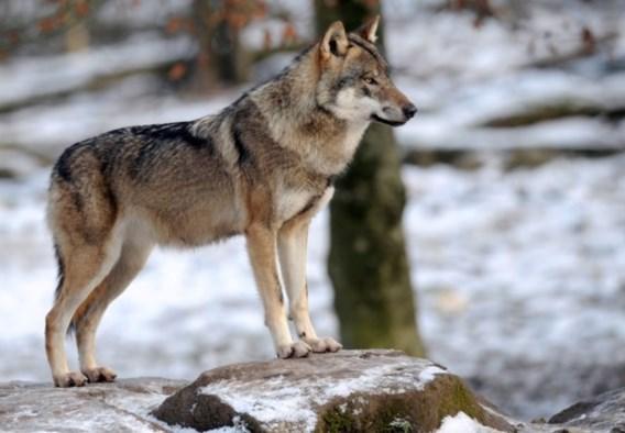 Naya is dood, maar nieuwe wolven zijn op komst
