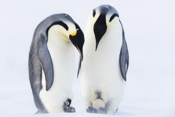 Keizerspinguïn zal opwarming van de aarde niet overleven