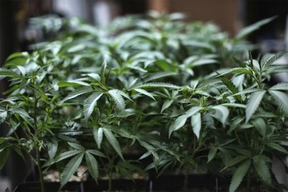 Cannabisplantage verstopt in kelder onder kippenhok