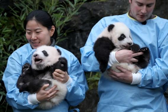 Pandatweeling Pairi Daiza krijgt naam