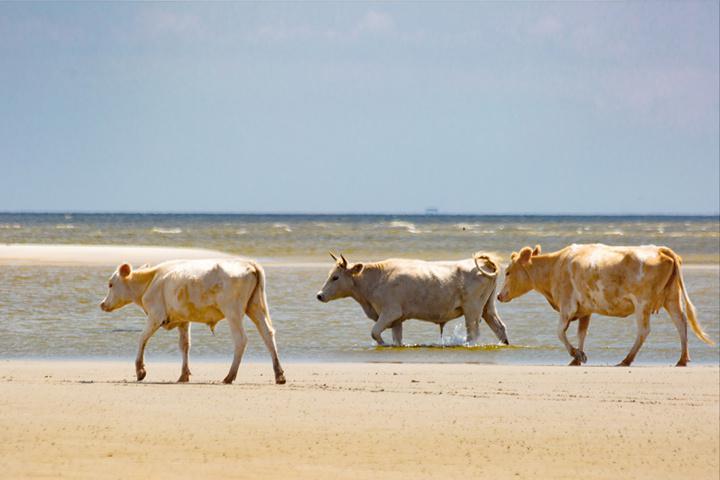 Koeien overleven orkaan Dorian en spoelen aan op eiland - De Standaard