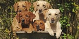 Hondenjaar is géén zeven mensenjaren