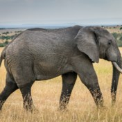 België speelt rol bij illegale handel in ivoor van bedreigde Afrikaanse olifant
