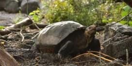 Gepeperde rekening voor doodrijden van reuzenschildpad op Galapagoseilanden