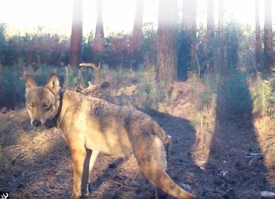 Onderzoeksrechter aangesteld in onderzoek naar dood wolvin Naya