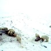 Klimaatverandering dwingt 56 uitgehongerde ijsberen om samen walrussen te delen