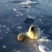 Nieuwsgierige ijsberen zitten drone achterna