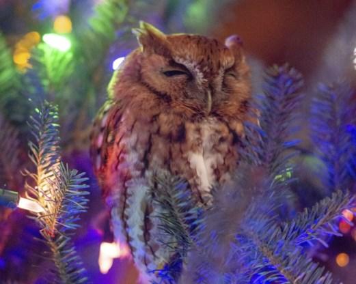 Amerikaans gezin ontdekt na week uil in kerstboom