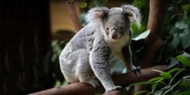 Vierde koala in twee jaar overleden in Pairi Daiza: 'We onderzoeken het, maar mogelijk blijft het altijd een raadsel'