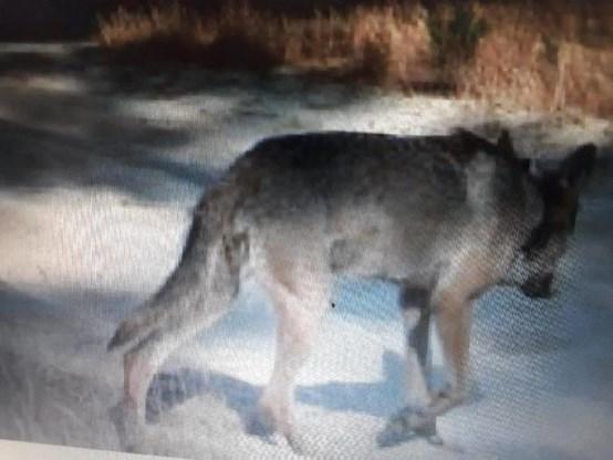 Jagersvereniging informeert haar leden over de wolf