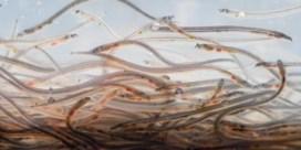 Vergeet ivoor en bushmeat: onze paling is een zorgenkind