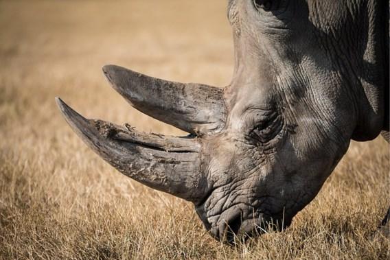Oudste zwarte neushoorn ter wereld gestorven