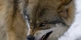 Duitse populatie zendt zonen en dochters uit, 'Zwervende wolf kan overal opduiken'