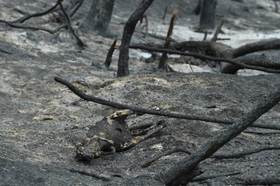 Natuur kreunt onder bosbranden Australië: 'Diersoorten sterven uit'
