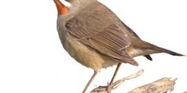 Dwaalgasten: vogels leggen duizenden kilometers af, helaas in de verkeerde richting