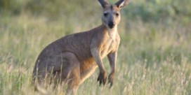 Carrefour haalt kangoeroevlees uit rekken: 'Niet meer te verantwoorden'