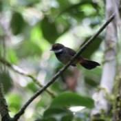 Belg 'ontdekt' Indonesische zangvogel