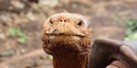 Schildpad die zijn soort van ondergang redde, mag met pensioen