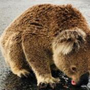 Dorstige koala likt regenwater van straat in Australië