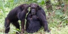 Inteelt en macht sturen migratie bij chimpansees
