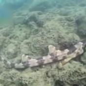 Vier wandelende haaisoorten ontdekt in Australisch koraal