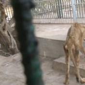Verontwaardiging over uitgemergelde leeuwen