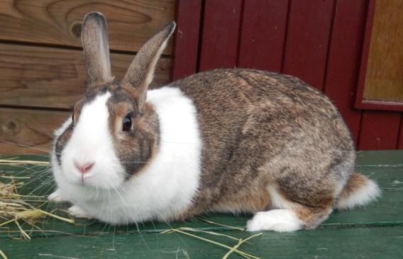 'Week van het konijn' krijgt tegenwind