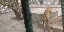 Reddingswerkers schieten graatmagere leeuwen te hulp