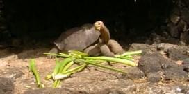Uitgestorven schildpaddensoort 'Lonesome George' ontdekt op Galapagoseilanden