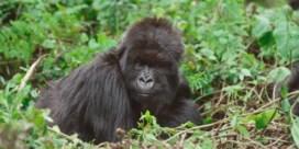Zeldzame berggorilla's doodgebliksemd: 'Extreem triest'