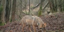 Eerste beelden van wolvin Noëlla in daglicht