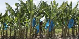 Fruitbedrijf Hein Deprez weg uit Suriname
