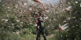 Sprinkhanencrisis nog lang niet onder controle