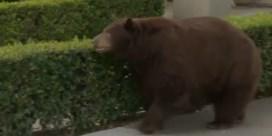 Oude zwarte beer flaneert door Californische wijk