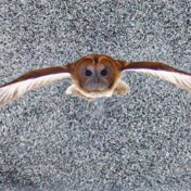 Beelden van vliegende uilen en haviken moeten vliegtuigen milieuvriendelijker laten vliegen